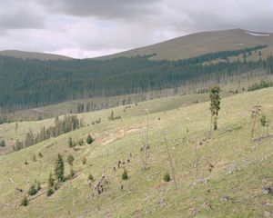 A team of locally employed people work on replanting a hillside of spruce.