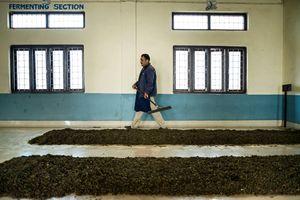 Employee checks the tea fermentation.