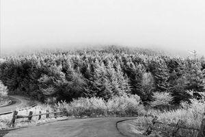 Snowy Pine Trees of Roan Mountain