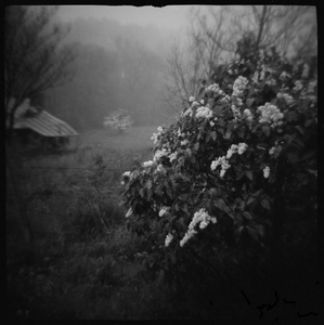 My Mother's Lilacs, Madison Mills, VA