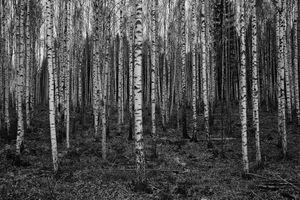 Fem dagar: Birches