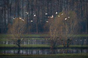 Floodplain with Flying Egrets | Danube-Dráva National Park (Hungary)