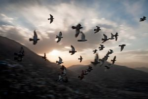 A flock of trained pigeons flies from a house in Kabul's old city in Afghanistan on July 5, 2010. © Adam Ferguson