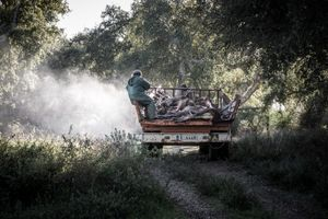 At the end of day collecting hunted deers and fawns in a private estate. © Antonio Pedrosa