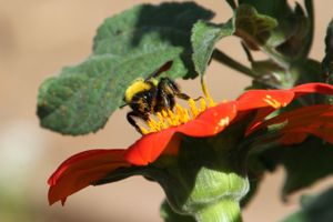 Bumble bee pollinator