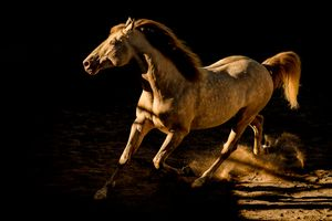 Golden Lusitano Stallion