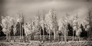 Fading aspens in Tetons