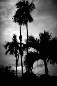 les palmiers de l'ombre