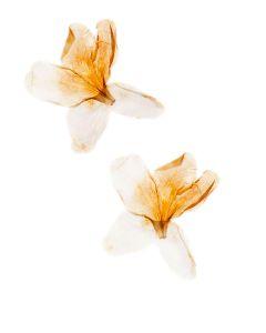 Double Azaleia Anging Beautifully