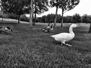 Goosewalk 8