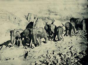 African Elephants, Dolomites Italy