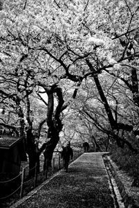 Under the cherry blossoms