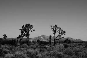 Joshua Trees near Alpine Butte Wildlife Sanctuary