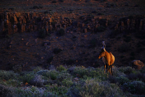 On the edge / A Red Hartebeest (Alcelaphus buselaphus), one of the most common antelope in South Africa, on the edge of a canyon in the Karoo National Park.
