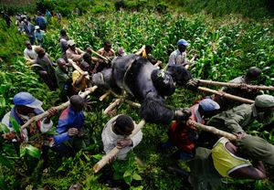© Brent Stirton, Conservation Rangers work with locals to evacuate the bodies of four Mountain Gorrillas killed in Virunga National Park, Eastern Congo. July 2007, Bukima, Democratic Republic of Congo. Series: A violation of Eden