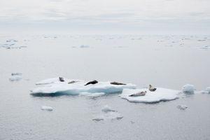 Seals, Davis strait