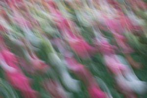 Tulip dances