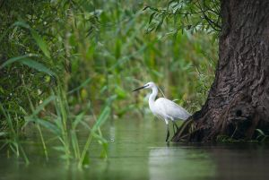 Like its larger relative, the Little Egret feeds on aquatic insects, fish and frogs | Persina Nature Park (Bulgaria)