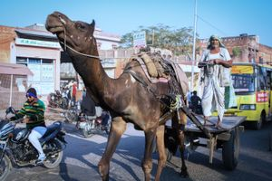 Camel drawn cart