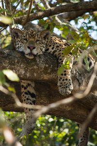 Nap time for the jaguar