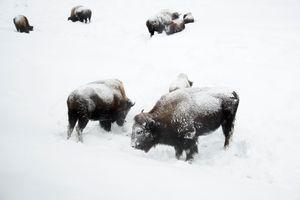 Bison Eating
