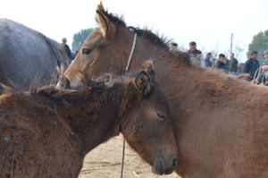 The Sed horses