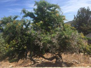 Spiny mimosa tree