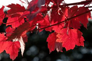 Acer Rubrum October Glorium