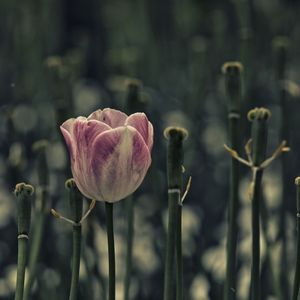 The last tulip, Floriade, ACT, Australia