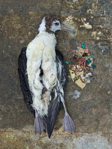 Carcass of a Laysan albatross fledgling and its stomach contents after necropsy, Midway Island 2011.