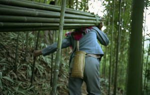 A worker holds onto a bamboo plant to keep balance - Guangdong province, China.