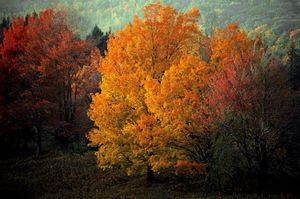 Rable Rouge, Vermont, Portraits of Trees