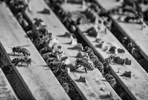 Bee Glue
