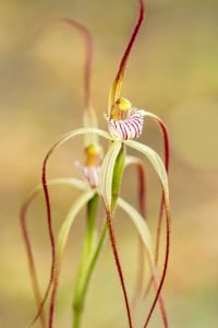 Beauty in the bush: late spider orchid