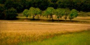 Trees in Wheatfield
