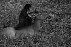 The monkey and the deer