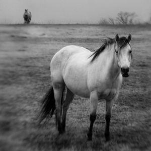 Quarter Horses © Anne Berry