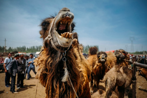 Camels are the one of animal to be sold at the Sunday Animal Market in Kashgar, Xinjiang Uighur Autonomous Region, China.