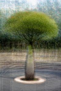 Brachychiton rupestris (Queensland bottle tree)