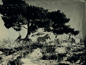 Grevys Zebra, Soest Holland