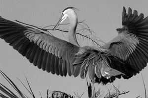 Nest Building -- Great Blue Heron