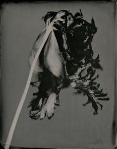 Tulipa Tentorium