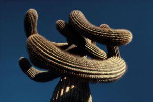 Saguaro, Portraits of Trees