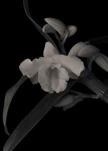 Nobile Dendrobium Orchid