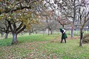 Raking in the Apple Orchard