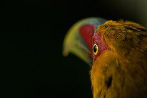 Saffron Toucanet (Pteroglossus Bailloni) Tucan banana © Karina Sechi Serboff, Brazil