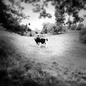 Curious Cows © Jürgen Novotny (Germany 2014)