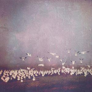 Snohomish Snow Geese