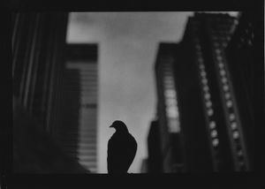 Untitled (Pigeon 5th Avenue), 2017
