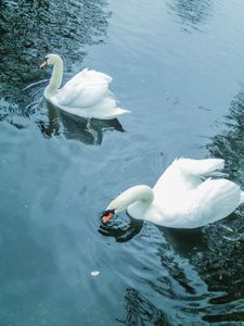 Two white swans reign the lake - and seem to rule the wet biotope